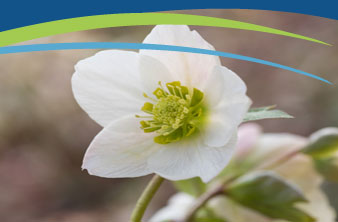 Light pink Lenten rose (Helleborus orientalis) by ouchi_iro